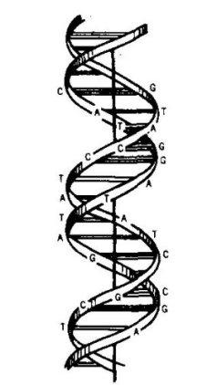 1953 DNA illustration, JASA 27.jpg